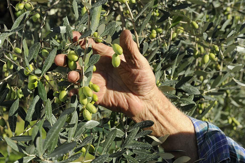 olive dell'olio del garda