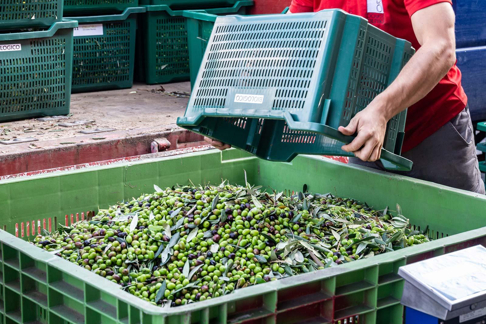 raccolta olive del garda