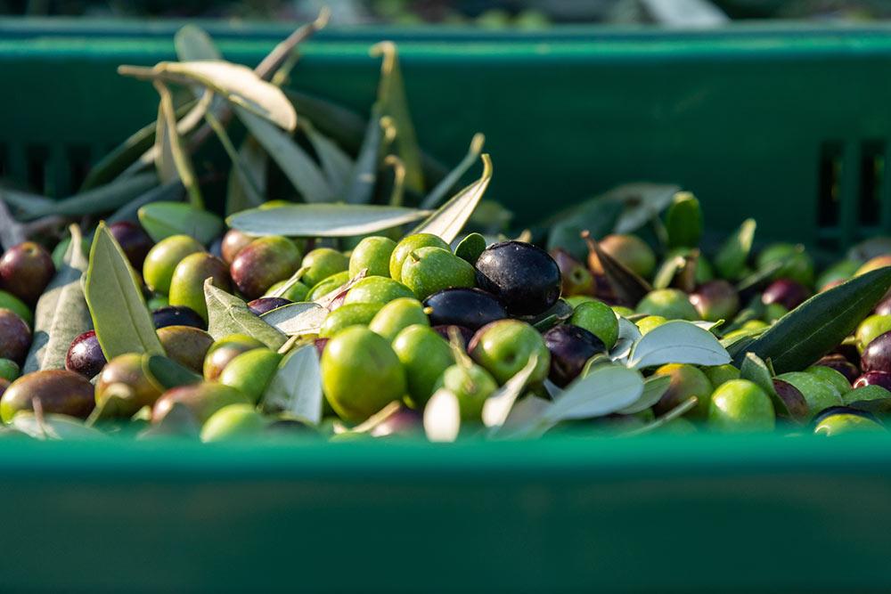 Olive del garda trentino